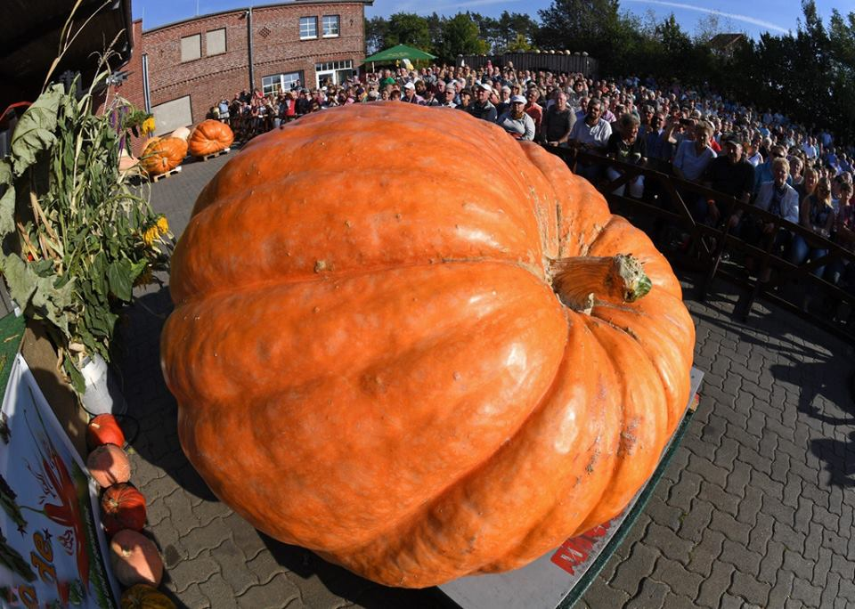 1,682lb pumpKING wins at the Open Pumpkin Weighing Championship 2016 in Klaistow, #Germany